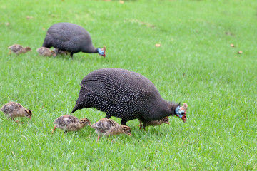 Guinea fowl and chicks
