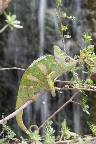 Veiled Chameleon with Waterfall background