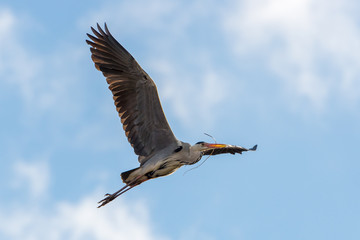 Bird Grey Heron Ardea cinerea