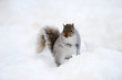 Squirrel with snow in winter