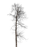 Dry tree without leaves isolated on white background