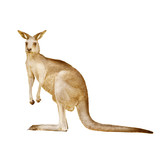 Australian kangaroo isolated on a white background