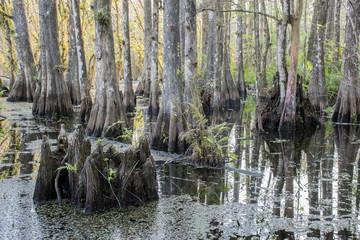 Swamp Stump At Slough Preserve