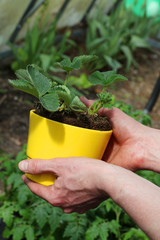 Strawberry seedling in flowerpot
