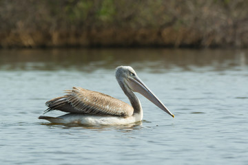 Pink-backed Pelican floating in the mangroves