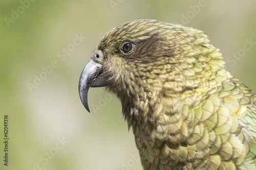 Kea portrait, worlds only alpine parrot only found in New Zealan