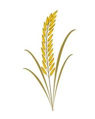 Golden Rice or Jasmine Rice on White Background