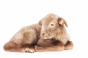 Young lamb isolated on white background
