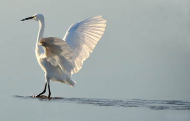 white heron at sunrise on the water