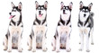 Collage of cute husky puppy isolated on white