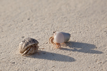 Diogenes-crab on the sandy beach