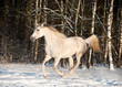 arab horse in winter field