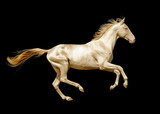 perlino akhal-teke horse isolated on black