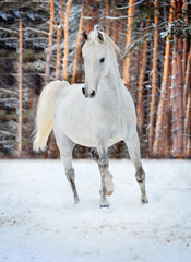free arabian horse runs free in field