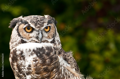 Foto op Canvas Uil Great Horned Owl
