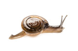 small garden snail . : Clipping path included.