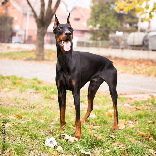 Playing Doberman