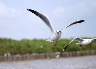 Flying seagulls in action
