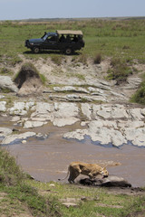 Tourists on safari watching lioness
