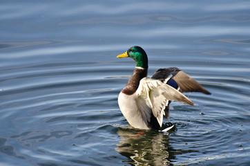 Mallard Duck Stretching Its Wings