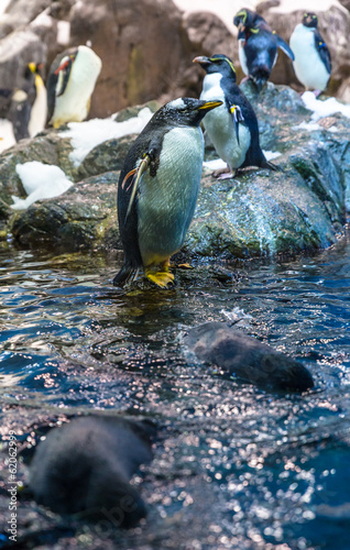 Emperor penguins playing in the water
