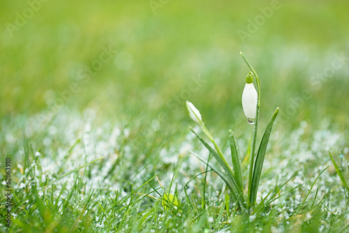 sparkly snowdrop flower with snow, very soft tiny focus, perfect