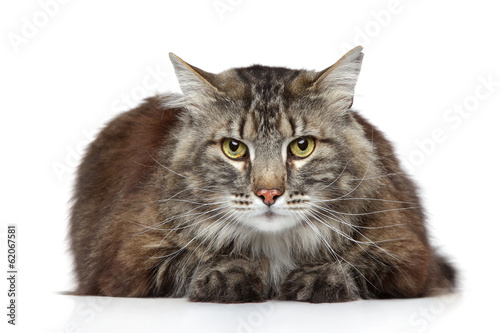 Maine Coon on a white background