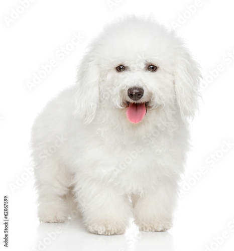 Bichon Frise dog portrait