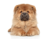 Chow-chow puppy on a white background