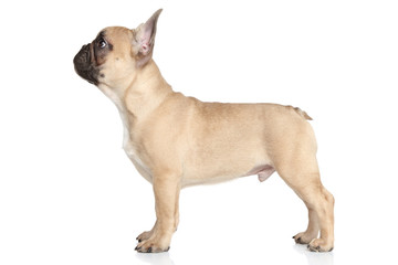 French bulldog puppy standing