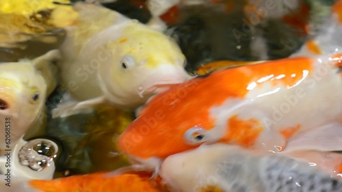 Japanese koi carps swim in shallow water and open  mouths