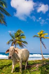 Beach Cow