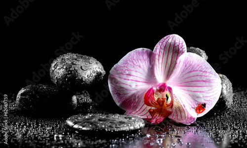 Orchid flower with zen stones  and ladybug on black background