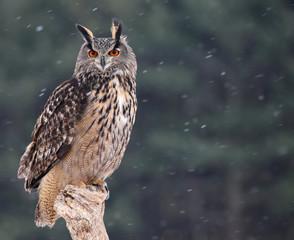 Patient Eurasian Eagle-Owl