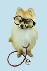 wearing glasses Pomeranian dog and a stethoscope