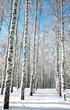 Sunny birch forest on blue sky