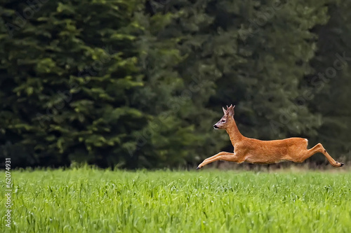 Foto op Canvas Ree Buck deer on the run