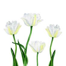 Illustration d'aquarelle d'une belle fleurs de tulipes blanc