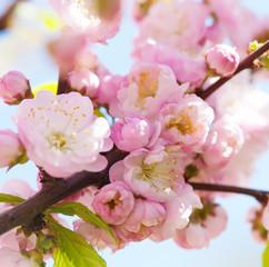Prunus serrulata or Japanese Cherry in full bloom.