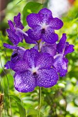 Vanda Manudwadee orchid in garden