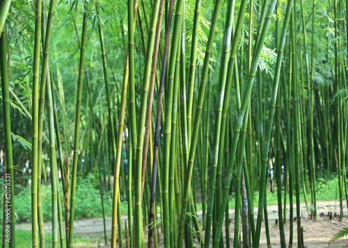 Papiers peints Bambou bamboo trees