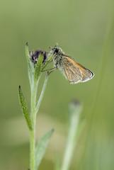 Small skipper butterfly