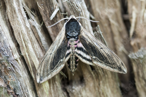 Privet hawk moth, Sphinx ligustri