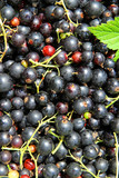 Background of the many berries black currant