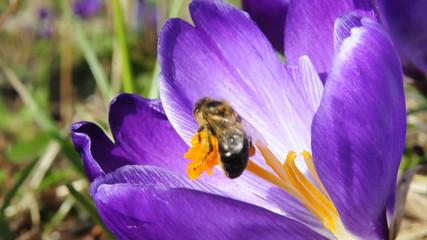 Honigbiene in Krokusblüte