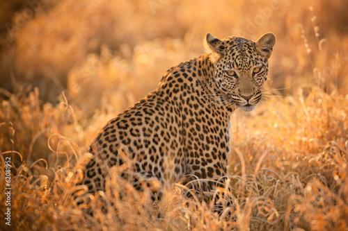 Foto op Canvas Afrika Leopard at Sunset