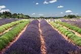 lavender in provence - campi di lavanda in provenza