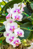Beautiful pink and white orchid flowers
