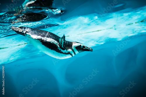 In de dag Pinguin Humboldt Penguin (Spheniscus humboldti)