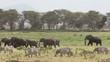 African elephants and zebras, Amboseli National Park